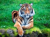 Sumatran tiger with blue eyes
