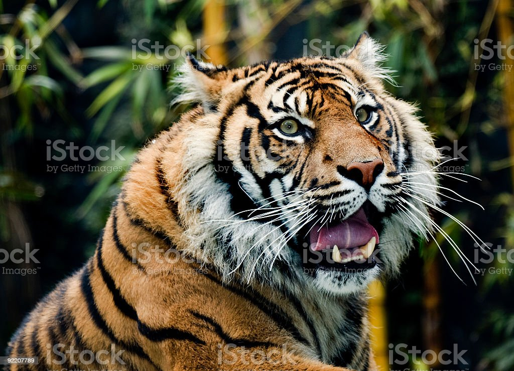 Sumatran tiger with mouth open and bamboo in background stock photo