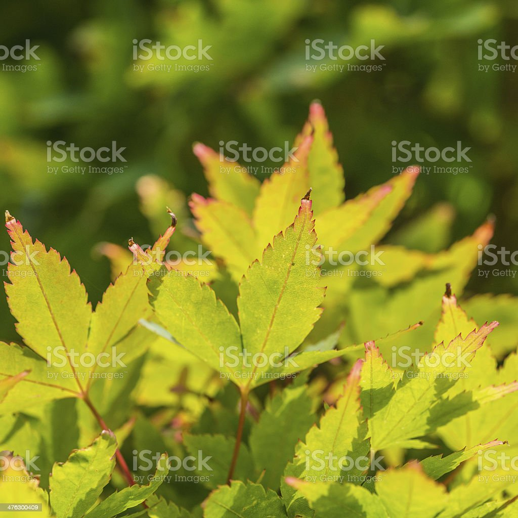 Summer Acer royalty-free stock photo