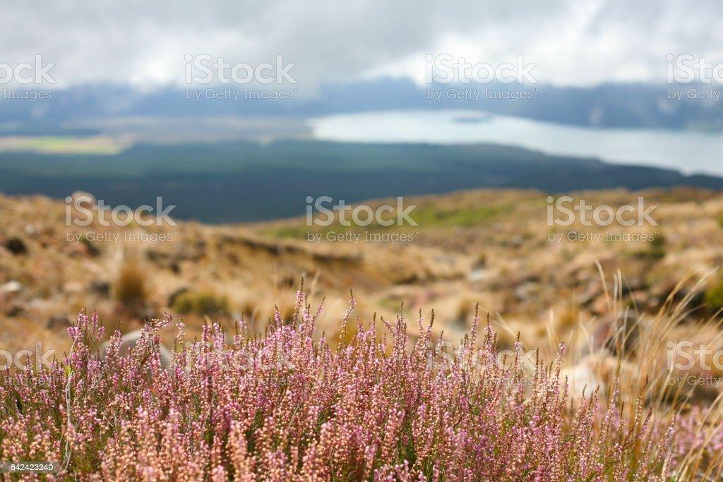 Summer alpine heather stock photo