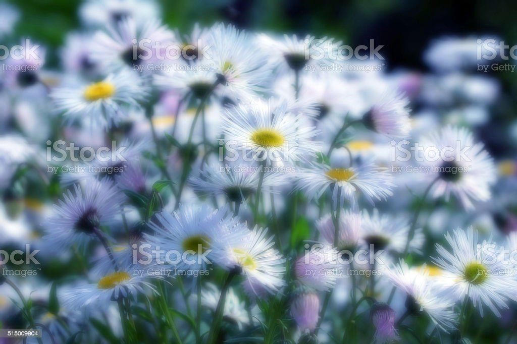 Summer asters stock photo