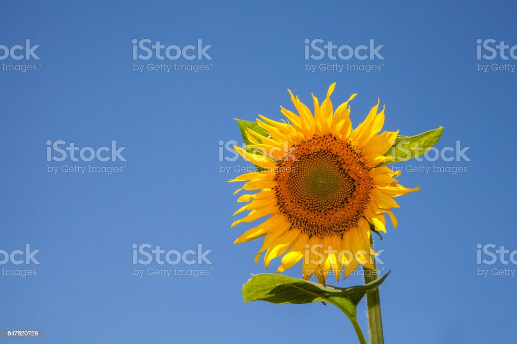Summer background, bright yellow sunflower over blue sky stock photo