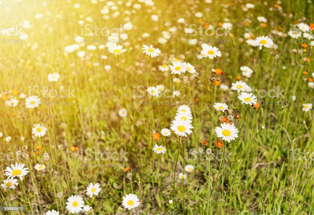 Summer background with daises and sunlight stock photo