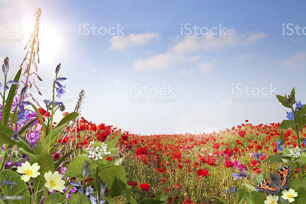 Summer background with poppies and other wild flowers royalty-free stock photo
