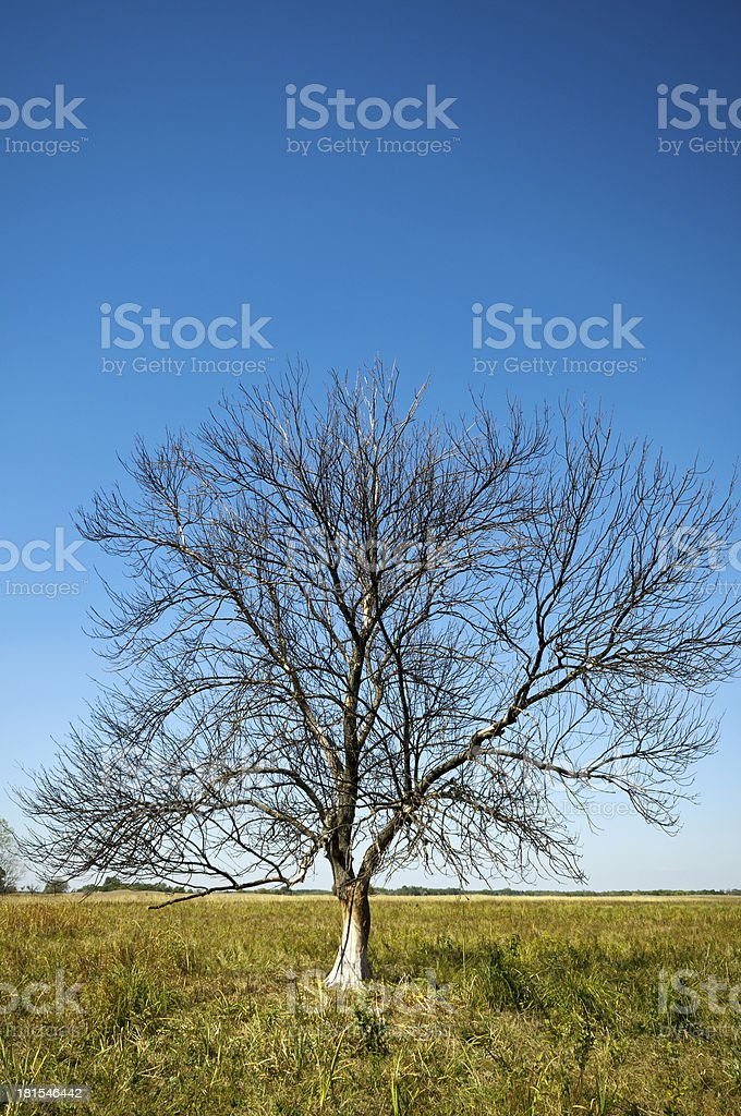 Summer bare tree vertical royalty-free stock photo