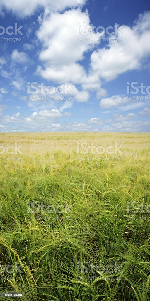 XXXL summer barley royalty-free stock photo