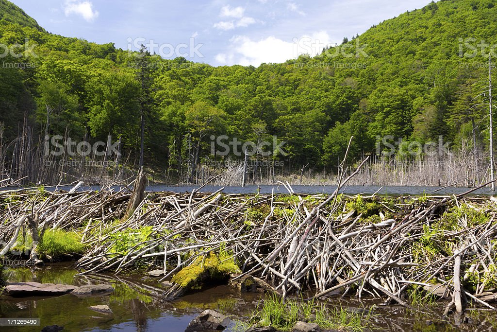 Summer Beaver Dam stock photo