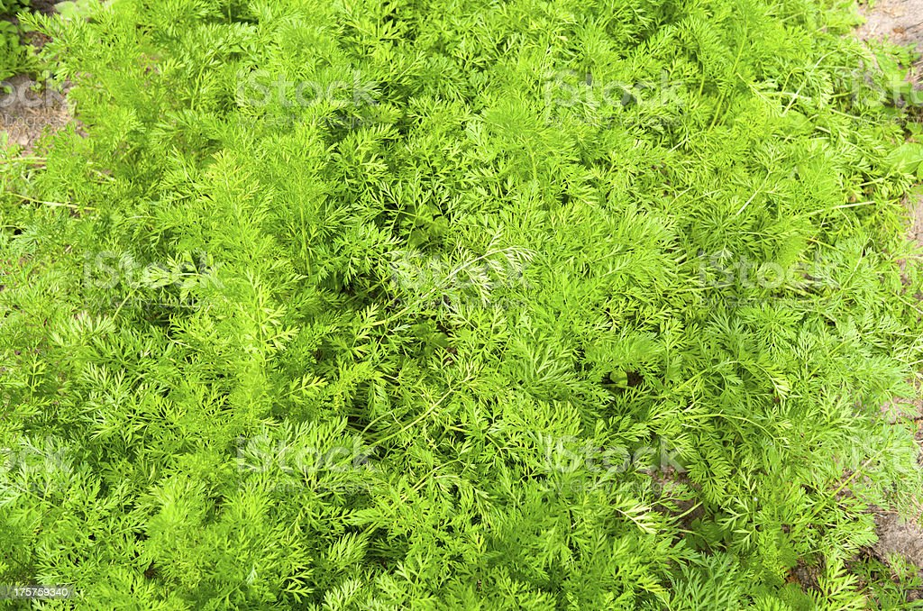 Summer Carrot in the organic vegetable garden. royalty-free stock photo