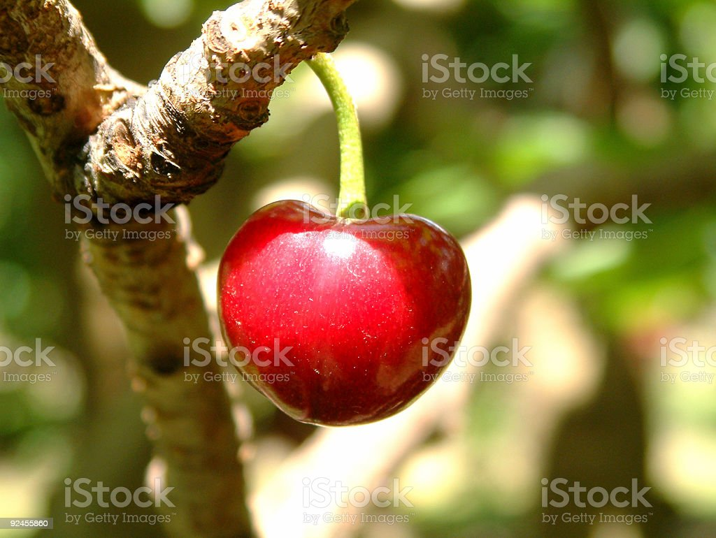 Summer Cherry royalty-free stock photo