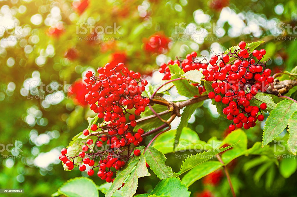 Summer colorful closeup view of red elderberry. stock photo