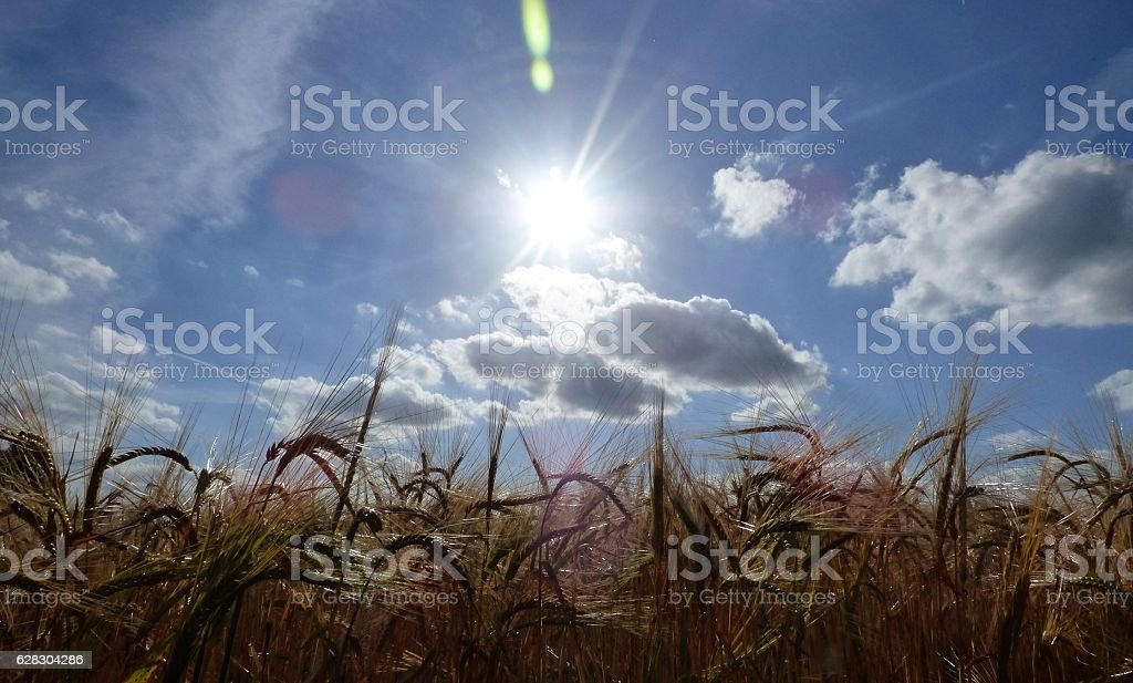 Summer Corn stock photo