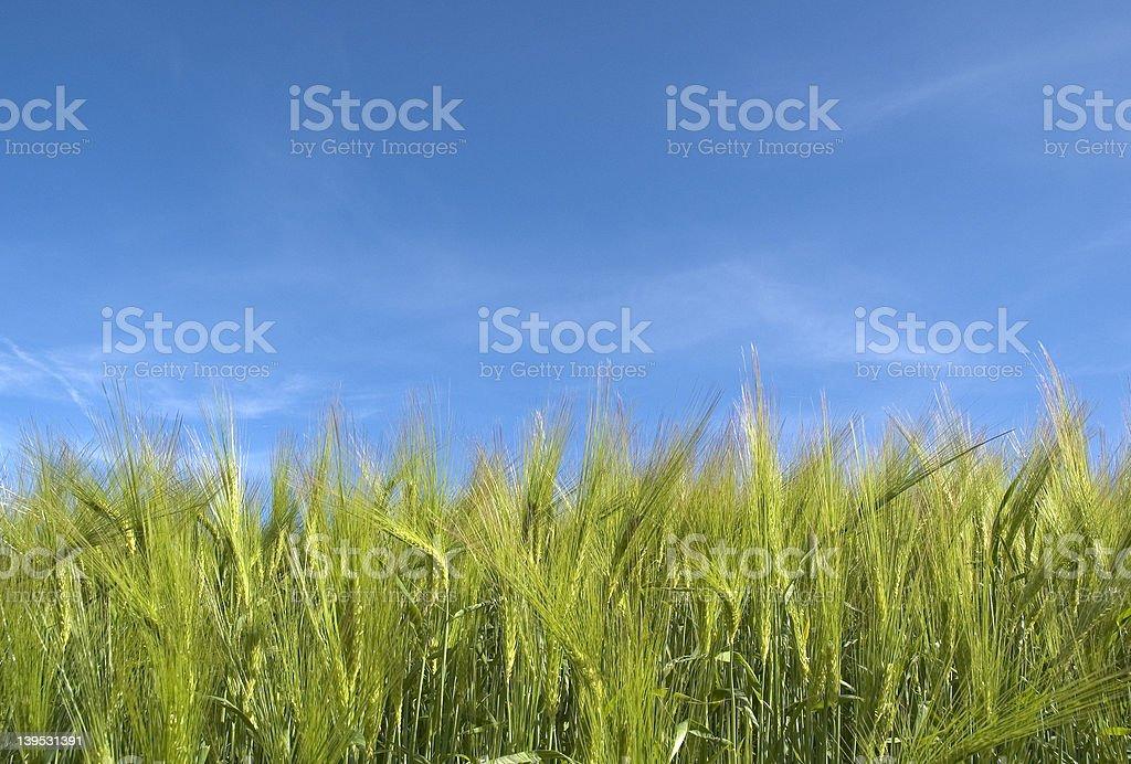Summer crop royalty-free stock photo