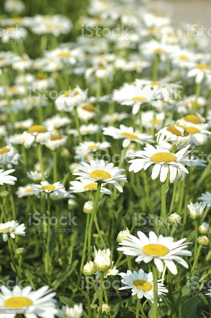 Summer Daisies royalty-free stock photo