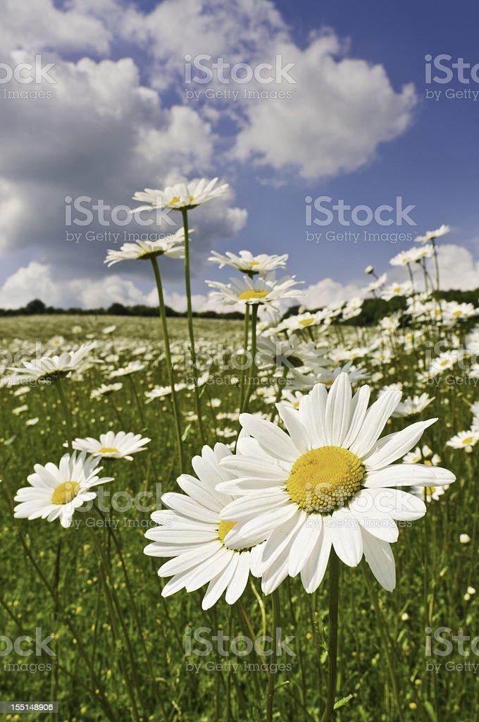 Summer daisy meadow royalty-free stock photo