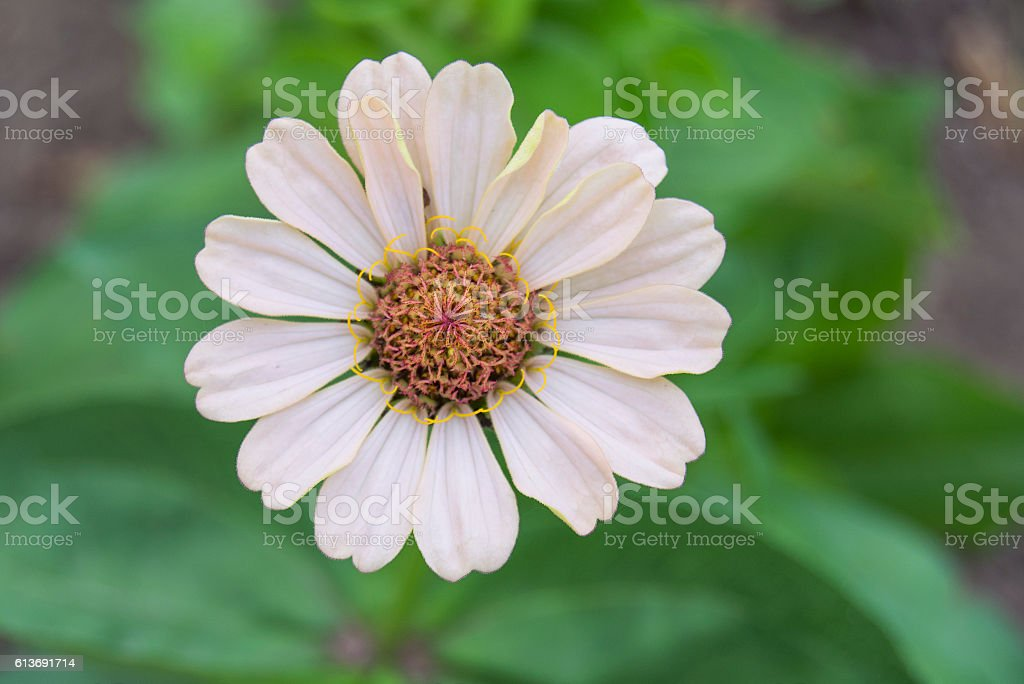 summer daisy stock photo