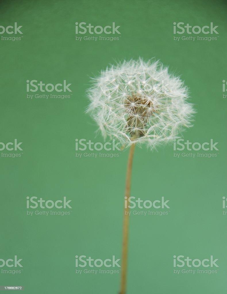 Summer Dandelion Flower Head royalty-free stock photo