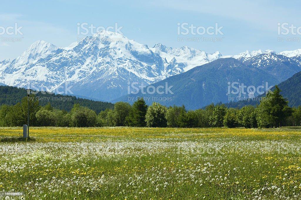 Summer dandelion meadow (Italy). stock photo