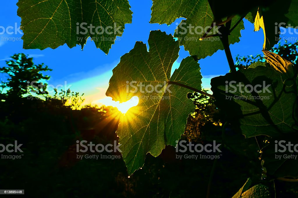 summer dawn in the vineyard royalty-free stock photo