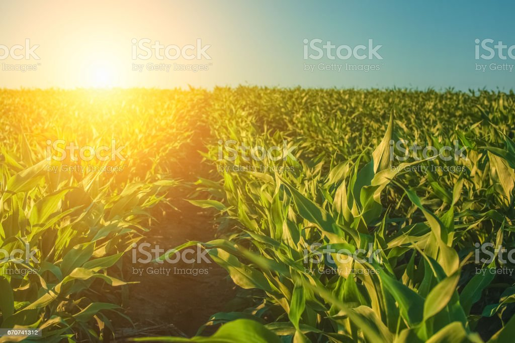 Summer day highlights the agricultural field, which is growing in neat rows, high, green, sweet corn stock photo