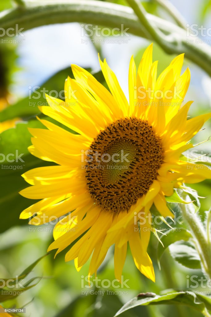 Summer day scene with sunflower plant. Yellow petal garden flower sunny soft green background photo stock photo