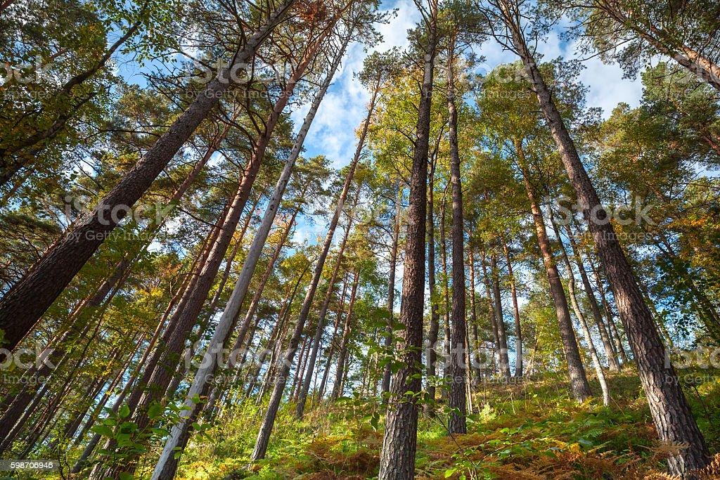 Summer dry coniferous forest landscape stock photo