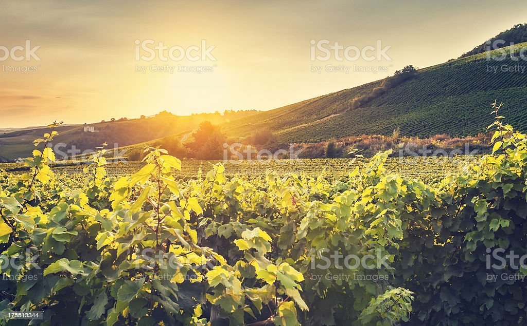 Summer evening vineyard royalty-free stock photo