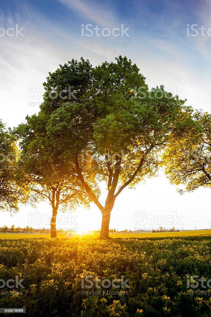 Summer evening with backlit tree in sunlight stock photo