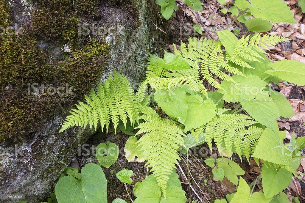 Summer Fern plants royalty-free stock photo
