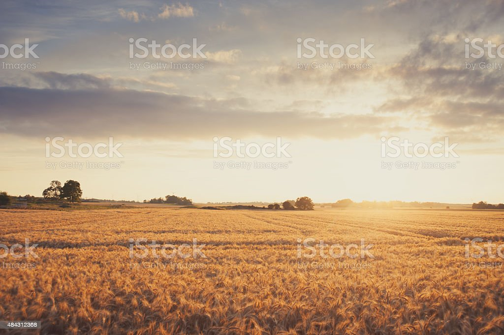 Summer field of barley in golden sunset stock photo