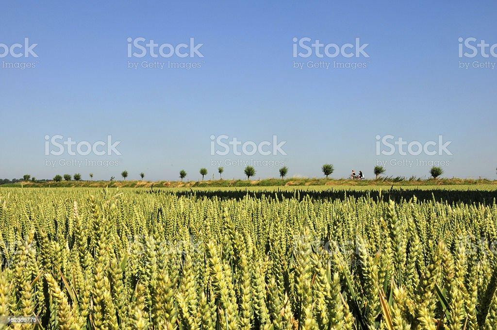 Summer field of corn in Breskens, Zeeland, Holland royalty-free stock photo