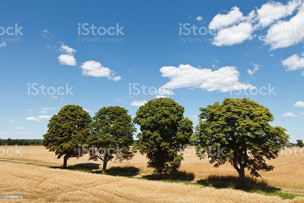 Summer field of grain stock photo