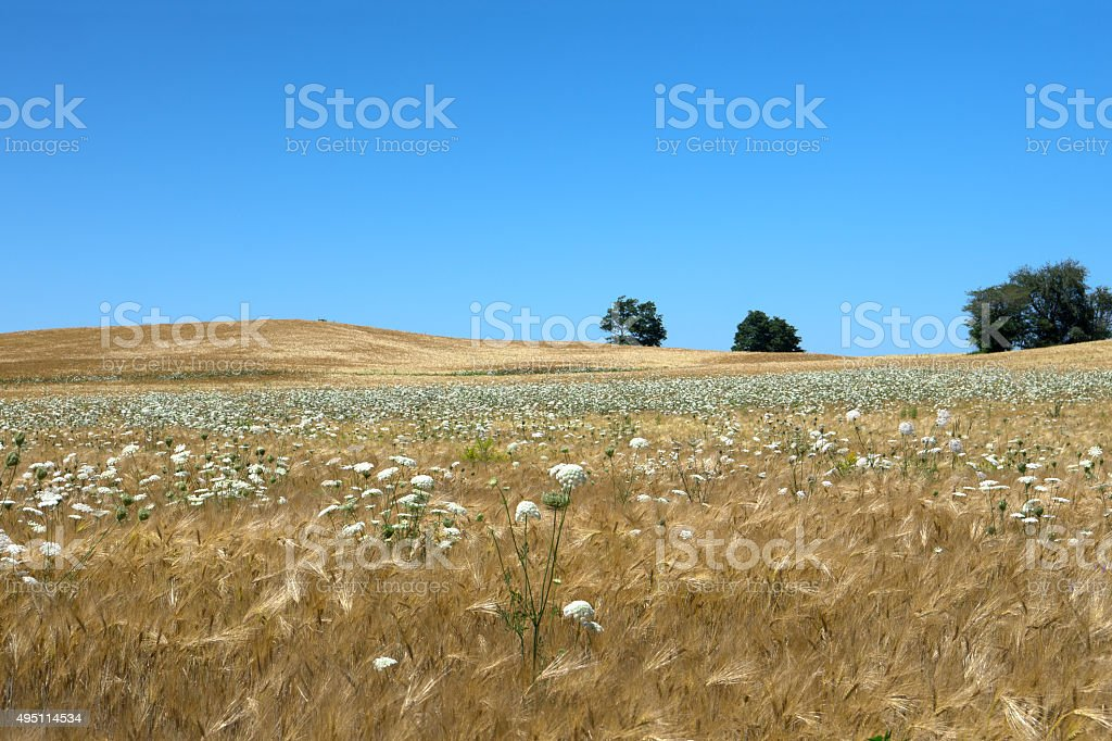 Summer Field of Wheat and Weeds stock photo