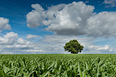 Summer field with corn, trees, and sky. Lonely oak tree