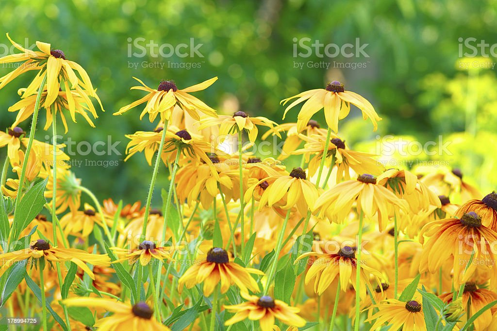 Summer Floral Background of Rudbeckia Flowers royalty-free stock photo