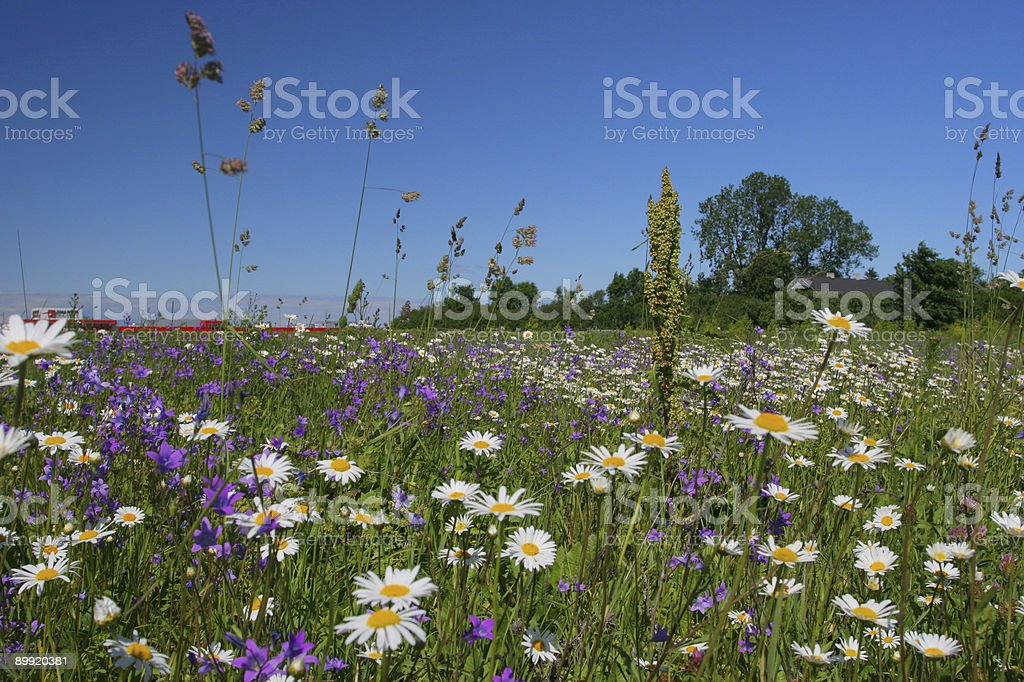 Summer flower field royalty-free stock photo