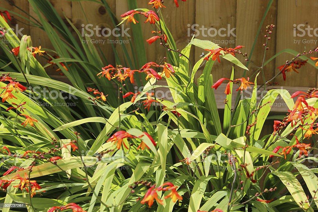 Summer flowerbed / herbaceous border, crocosmia aurea, orange crocosmia flowers / monbretia stock photo