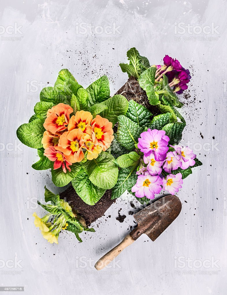 Summer flowers gardening on gray wooden background with shovel stock photo