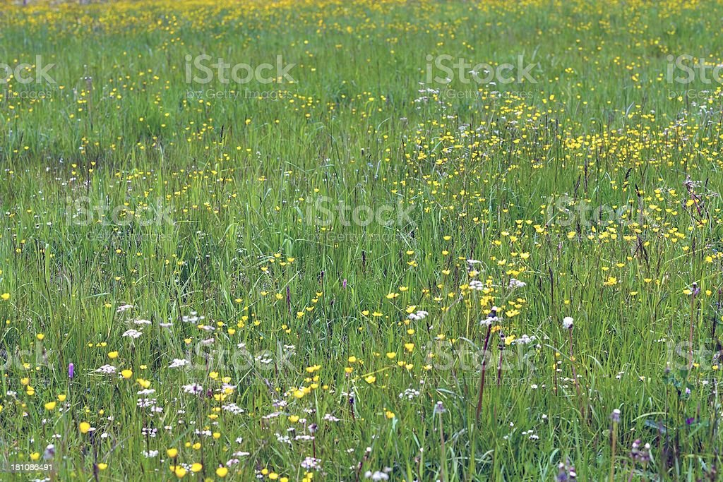 Summer flowers in a mountain field stock photo