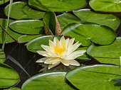Summer flowers series, beautiful yellow waterlily in pond.
