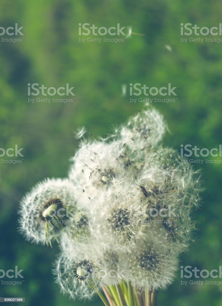 Summer fluffy dandelions and green meadow stock photo
