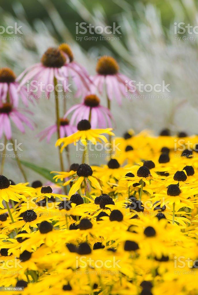 Summer garden Black-Eyed Susan (Rudbeckia) and Echinacea flowers royalty-free stock photo