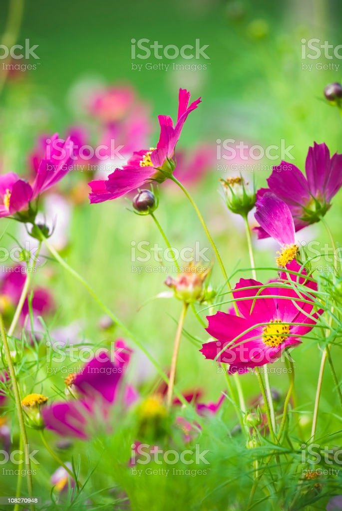 Summer garden with Cosmos flowers - I royalty-free stock photo