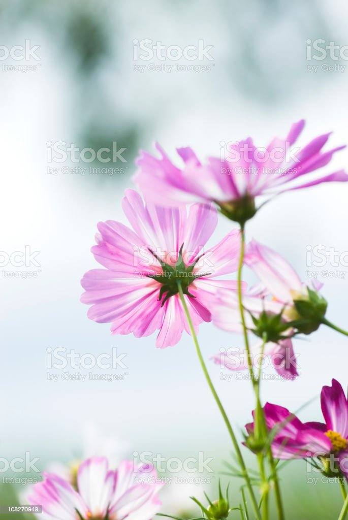 Summer garden with Cosmos flowers - III royalty-free stock photo