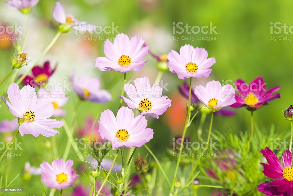 Summer garden with Cosmos flowers - VIII royalty-free stock photo