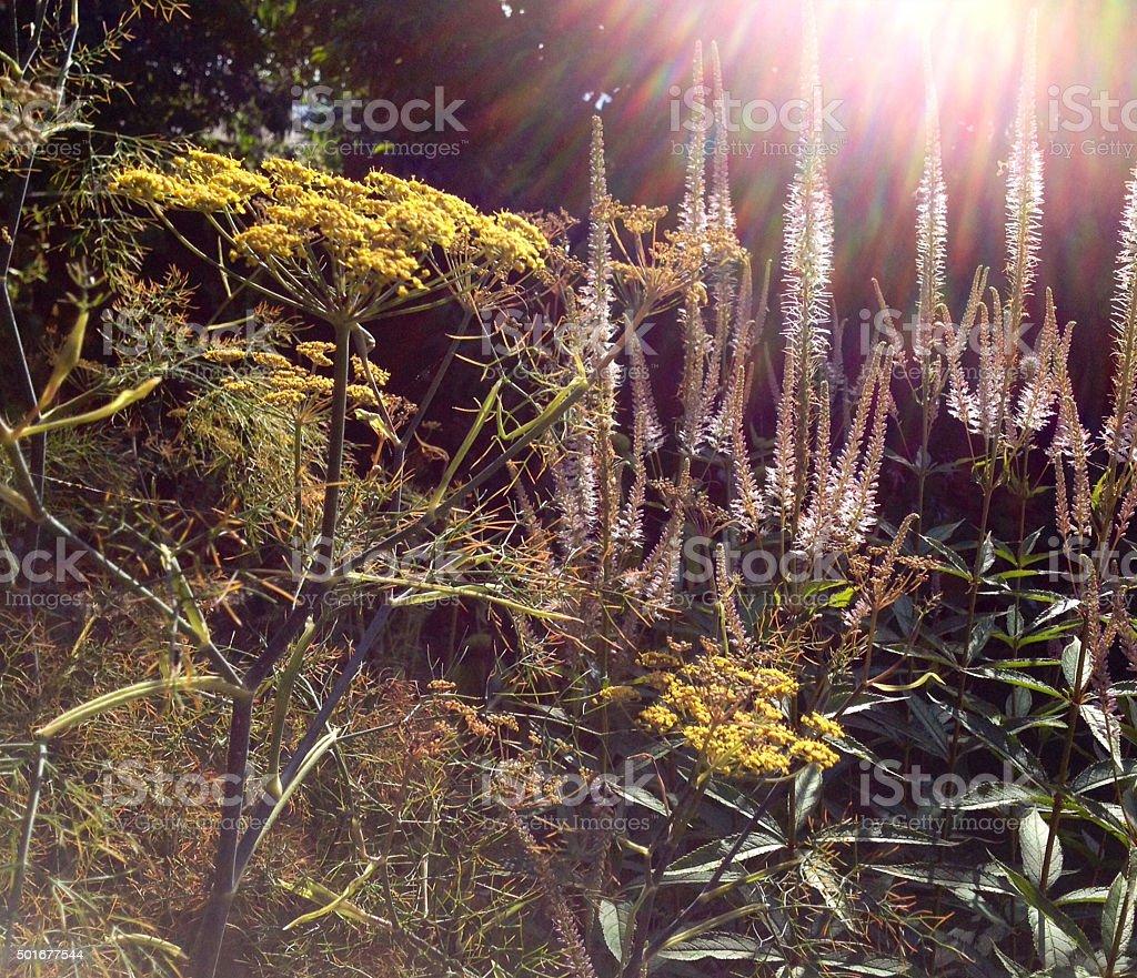 Summer garden with Fennel & Veronicastrum stock photo