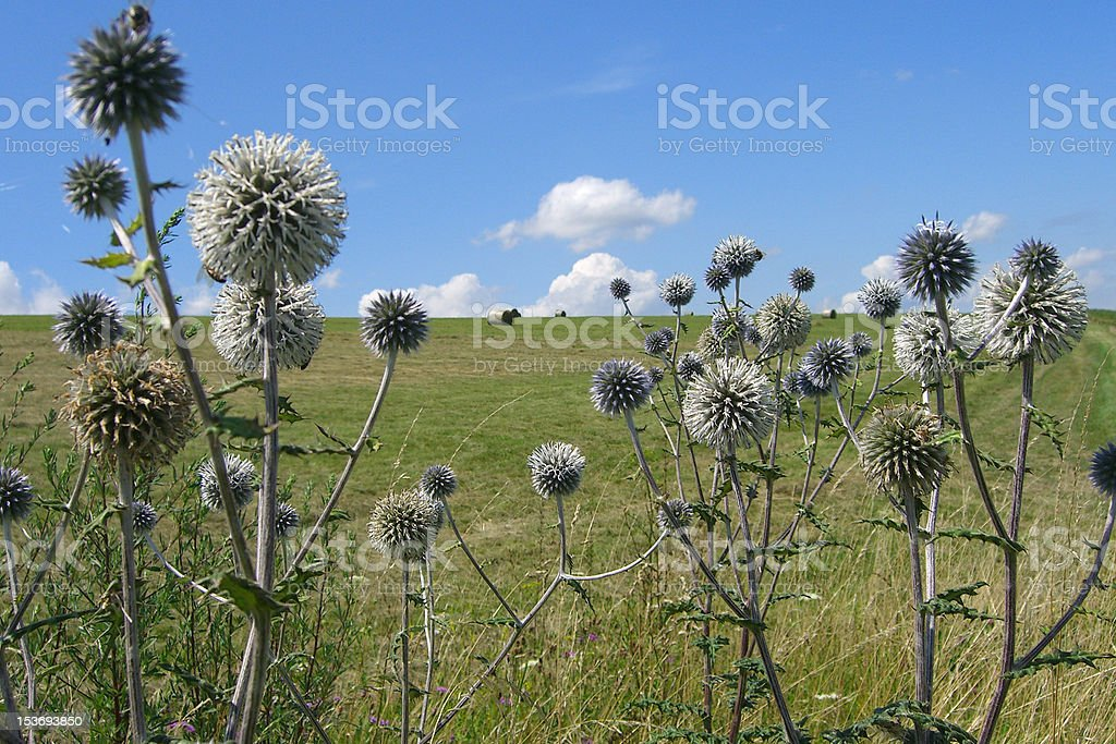 Summer globe thistle stock photo
