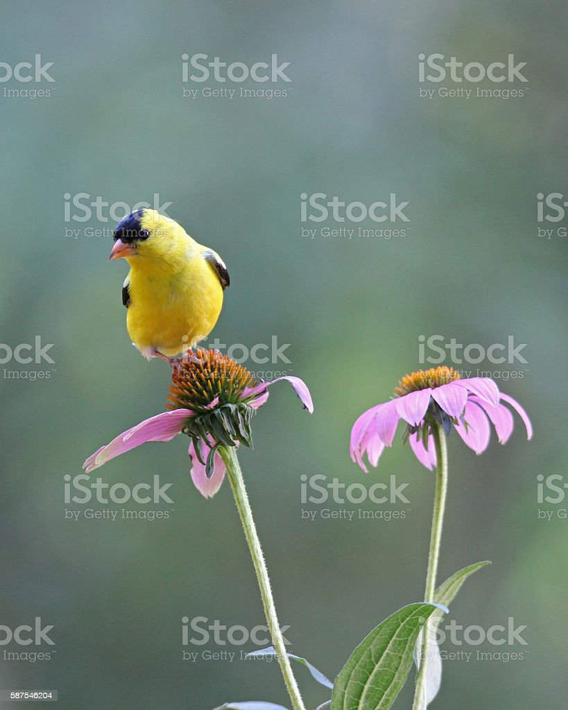 Summer Goldfinch stock photo