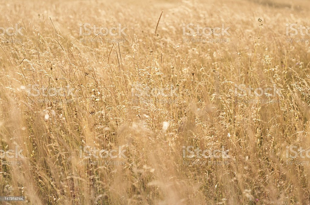 Summer grass field royalty-free stock photo
