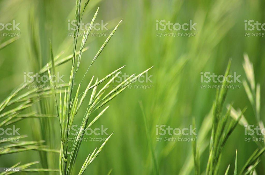Summer Green Grass royalty-free stock photo