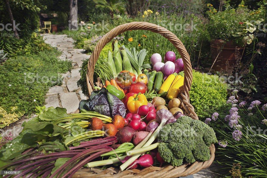 Summer Harvest of Fresh Garden Vegetable Varieties in Basket Hz stock photo